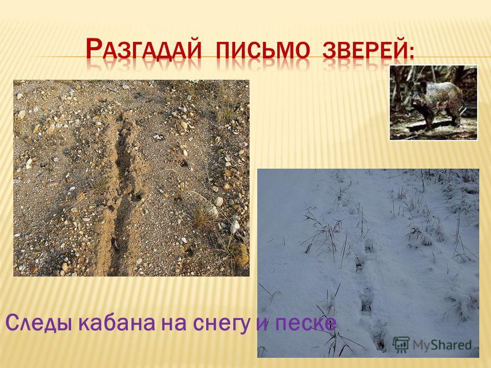 Следы кабана на снегу и песке