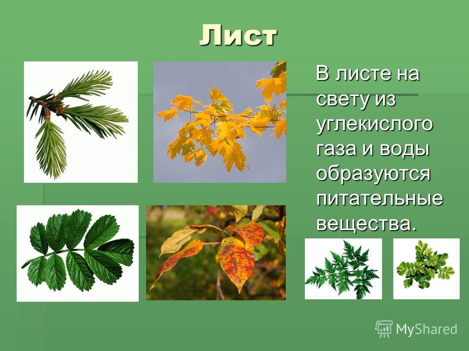 Лист Лист В листе на свету из углекислого газа и воды образуются питательные вещества. В листе на свету из углекислого газа и воды образуются питательные вещества.