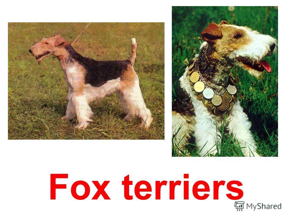 Irish- terrier