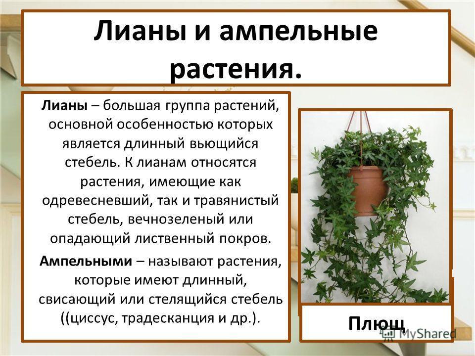 Лианы – большая группа растений, основной особенностью которых является длинный вьющийся стебель. К лианам относятся растения, имеющие как одревесневший, так и травянистый стебель, вечнозеленый или опадающий лиственный покров. Ампельными – называют р