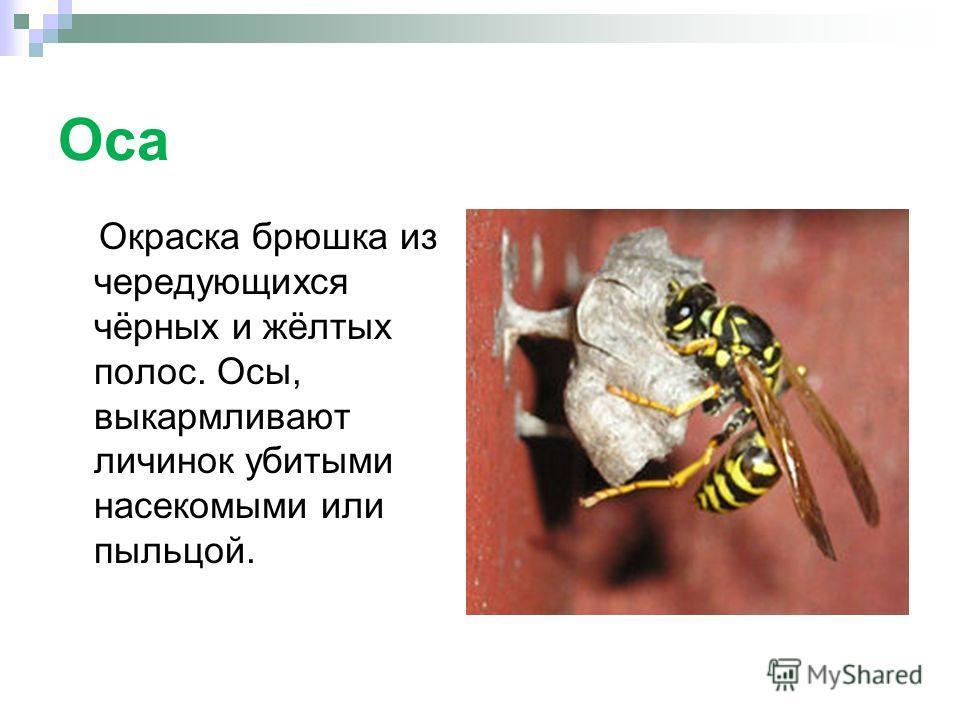 Оса Окраска брюшка из чередующихся чёрных и жёлтых полос. Осы, выкармливают личинок убитыми насекомыми или пыльцой.