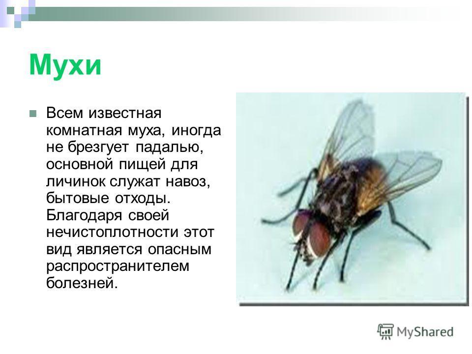 Мухи Всем известная комнатная муха, иногда не брезгует падалью, основной пищей для личинок служат навоз, бытовые отходы. Благодаря своей нечистоплотности этот вид является опасным распространителем болезней.
