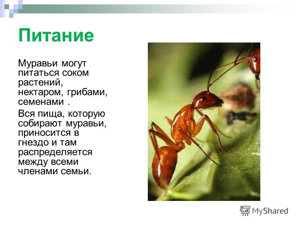 Питание Муравьи могут питаться соком растений, нектаром, грибами, семенами. Вся пища, которую собирают муравьи, приносится в гнездо и там распределяется между всеми членами семьи.