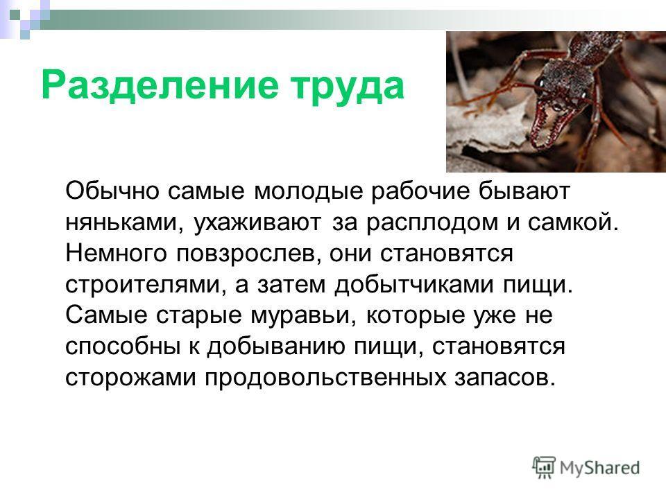 Разделение труда Обычно самые молодые рабочие бывают няньками, ухаживают за расплодом и самкой. Немного повзрослев, они становятся строителями, а затем добытчиками пищи. Самые старые муравьи, которые уже не способны к добыванию пищи, становятся сторо