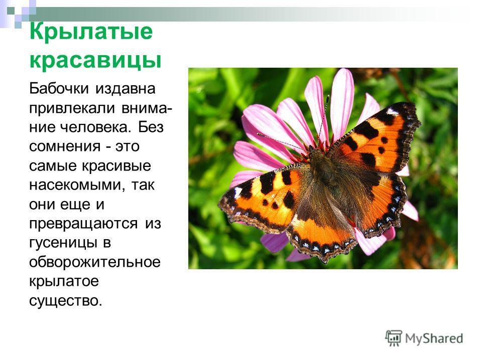 Крылатые красавицы Бабочки издавна привлекали внима- ние человека. Без сомнения - это самые красивые насекомыми, так они еще и превращаются из гусеницы в обворожительное крылатое существо.
