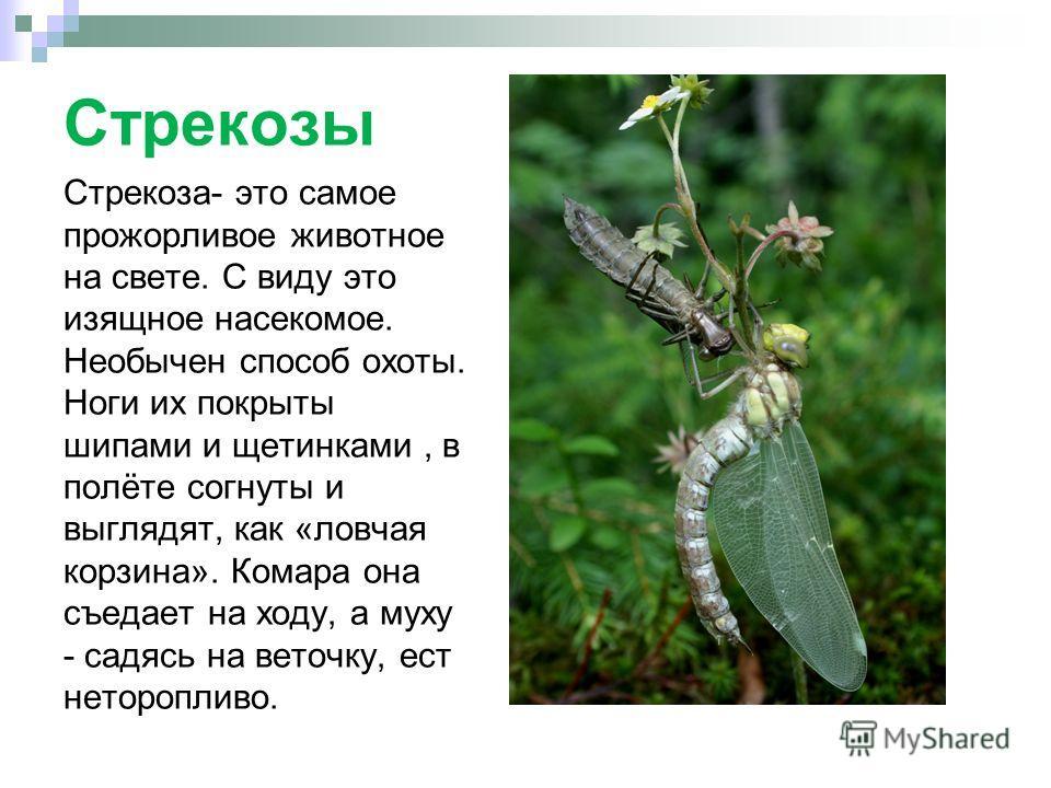 Стрекозы Стрекоза- это самое прожорливое животное на свете. С виду это изящное насекомое. Необычен способ охоты. Ноги их покрыты шипами и щетинками, в полёте согнуты и выглядят, как «ловчая корзина». Комара она съедает на ходу, а муху - садясь на вет