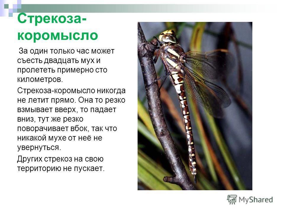 Стрекоза- коромысло За один только час может съесть двадцать мух и пролететь примерно сто километров. Стрекоза-коромысло никогда не летит прямо. Она то резко взмывает вверх, то падает вниз, тут же резко поворачивает вбок, так что никакой мухе от неё