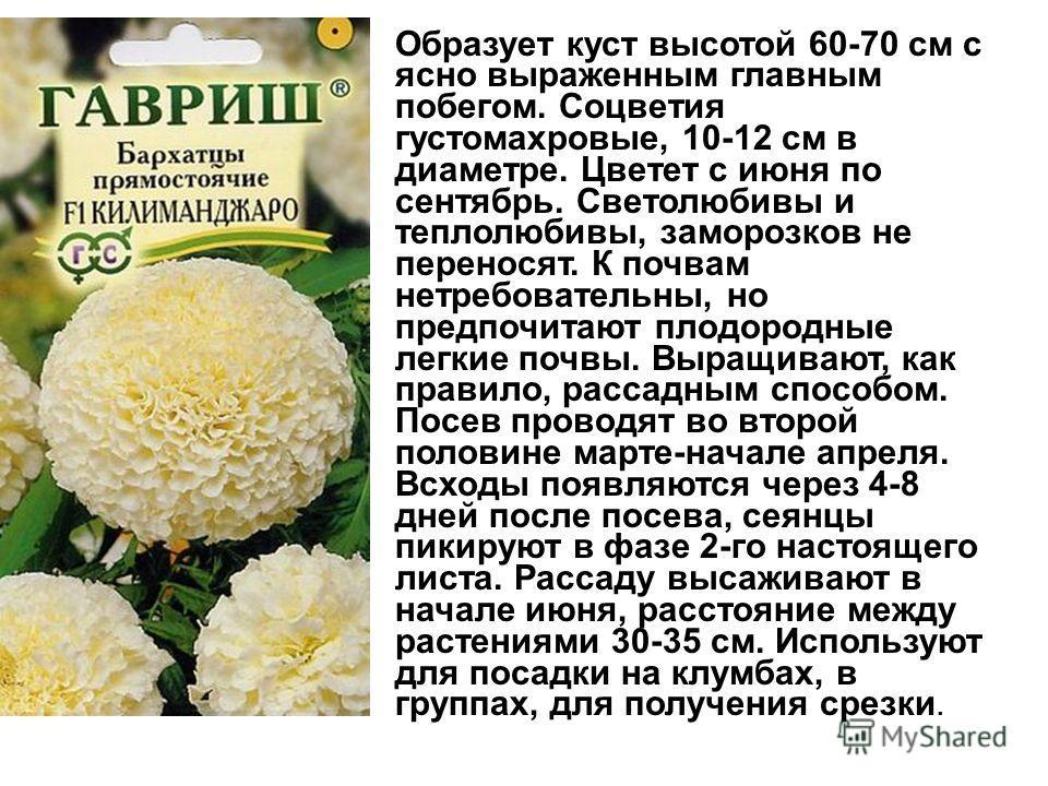 Образует куст высотой 60-70 см с ясно выраженным главным побегом. Соцветия густомахровые, 10-12 см в диаметре. Цветет с июня по сентябрь. Светолюбивы и теплолюбивы, заморозков не переносят. К почвам нетребовательны, но предпочитают плодородные легкие
