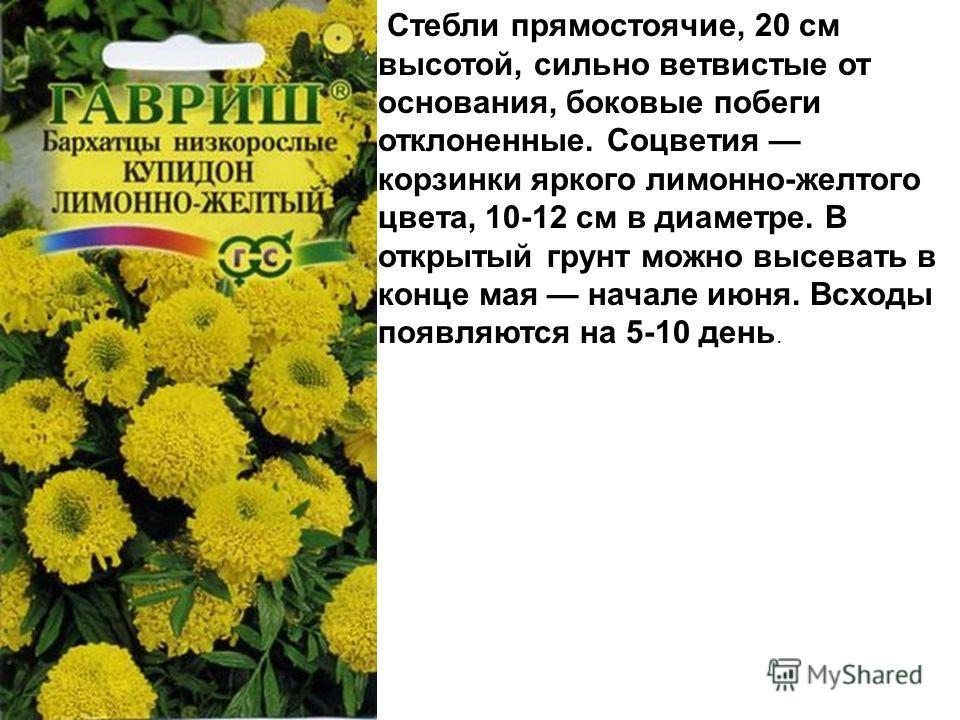 Стебли прямостоячие, 20 см высотой, сильно ветвистые от основания, боковые побеги отклоненные. Соцветия корзинки яркого лимонно-желтого цвета, 10-12 см в диаметре. В открытый грунт можно высевать в конце мая начале июня. Всходы появляются на 5-10 ден