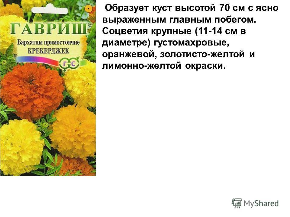 Образует куст высотой 70 см с ясно выраженным главным побегом. Соцветия крупные (11-14 см в диаметре) густомахровые, оранжевой, золотисто-желтой и лимонно-желтой окраски.