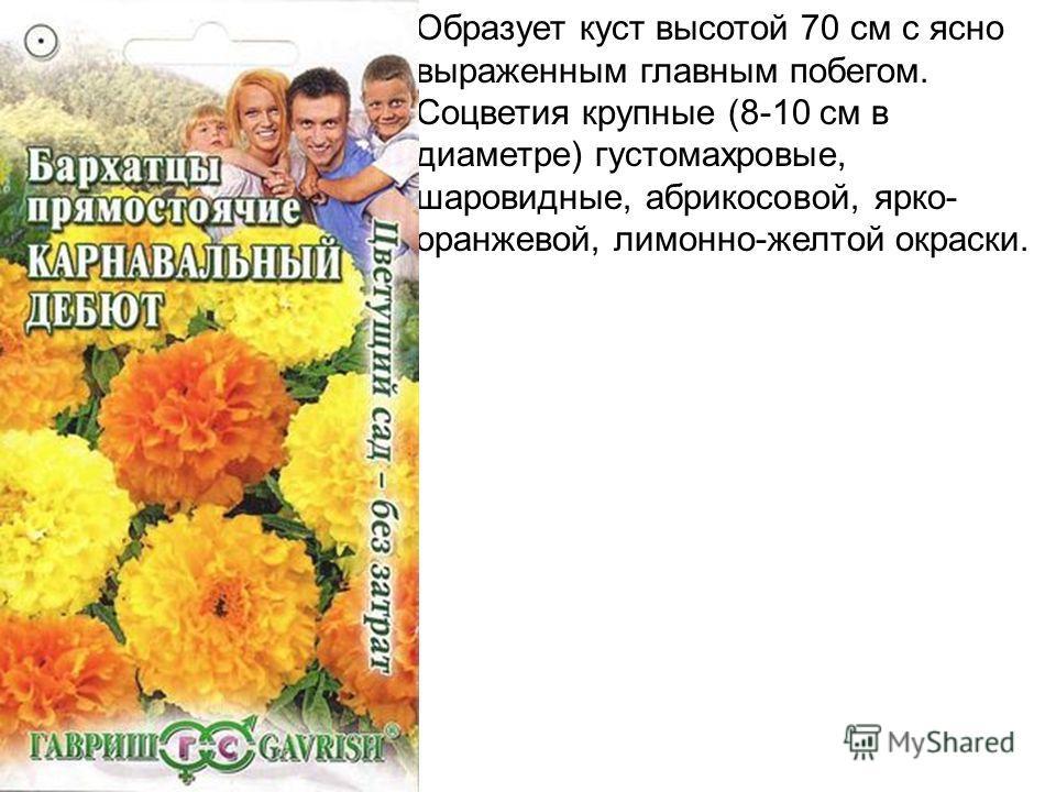 Образует куст высотой 70 см с ясно выраженным главным побегом. Соцветия крупные (8-10 см в диаметре) густомахровые, шаровидные, абрикосовой, ярко- оранжевой, лимонно-желтой окраски.