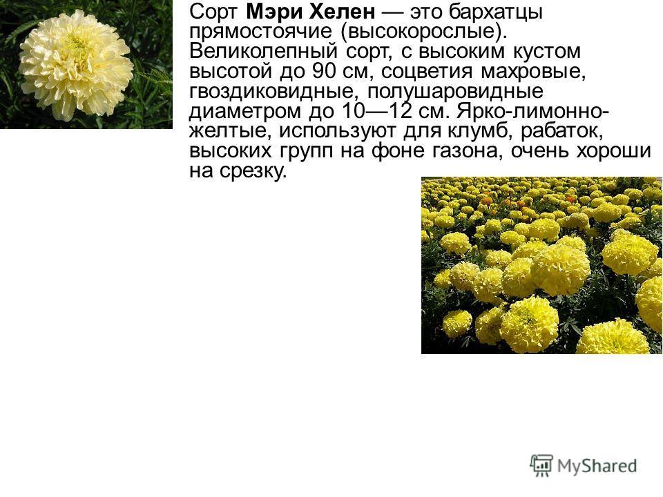 Сорт Мэри Хелен это бархатцы прямостоячие (высокорослые). Великолепный сорт, с высоким кустом высотой до 90 см, соцветия махровые, гвоздиковидные, полушаровидные диаметром до 1012 см. Ярко-лимонно- желтые, используют для клумб, рабаток, высоких групп