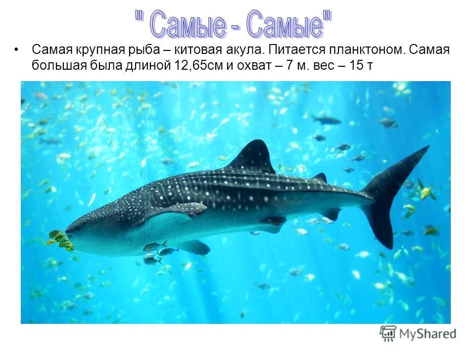 Самая крупная рыба – китовая акула. Питается планктоном. Самая большая была длиной 12,65 см и охват – 7 м. вес – 15 т