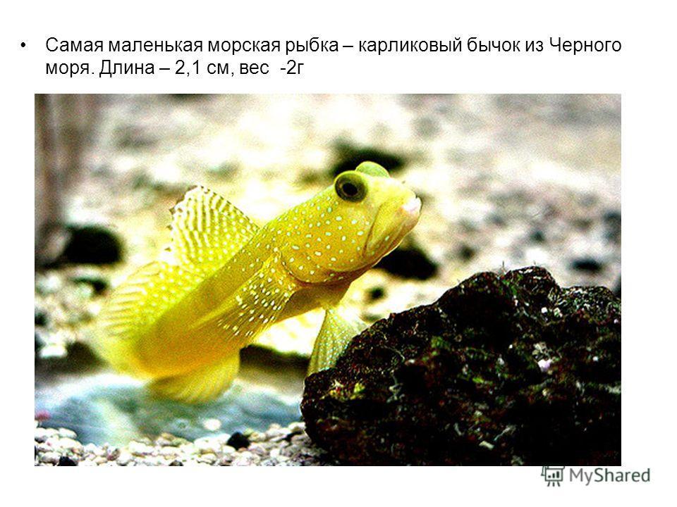 Самая маленькая морская рыбка – карликовый бычок из Черного моря. Длина – 2,1 см, вес -2 г