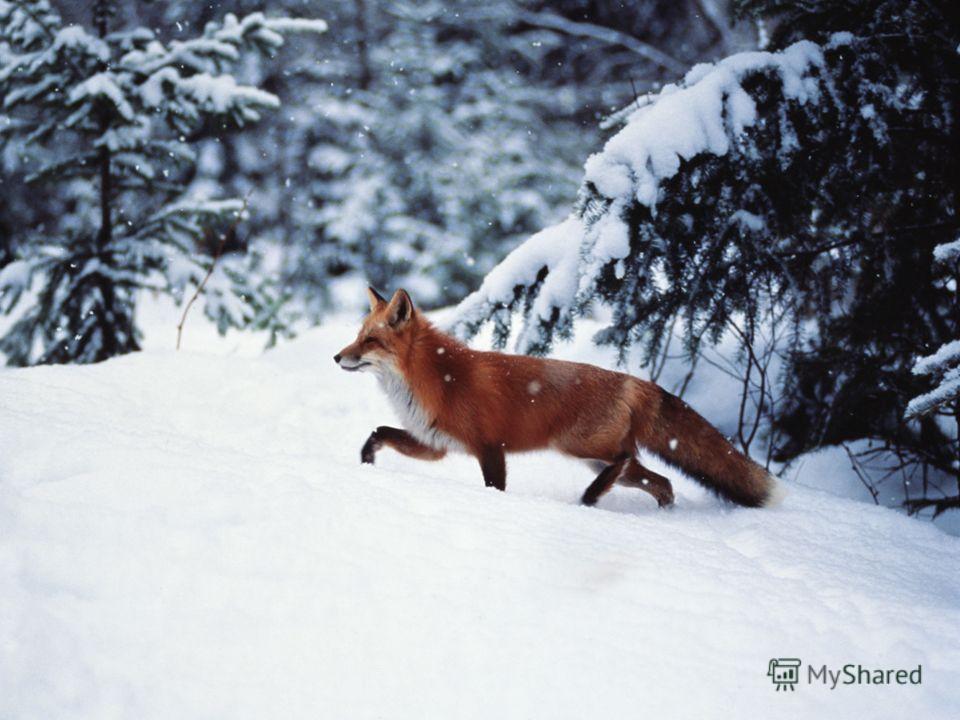 Лиса – хищный зверёк. Она красива и стройна пушистый хвост лисицы – особая гордость. Он служит рулём во время бега и тёплым покрывалом в зимних ночёвках. Основная пища лисы – лесные мыши. Она истребляет их. Этим она приносит пользу лесу. Лиса – хищны