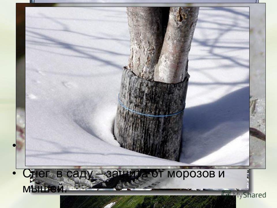Польза снега для растений: Талый снег – источник питьевой воды в горных районах; Снег используют для орошения полей – это мелиорация; Снег - это теплое одеяло для растений; Снег в саду – защита от морозов и мышей.