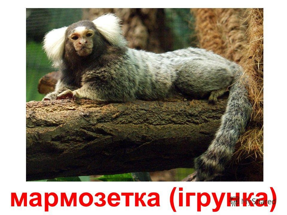 мавпа-гусар