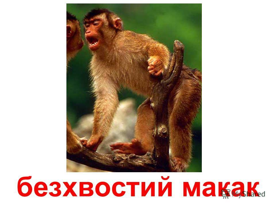 макак
