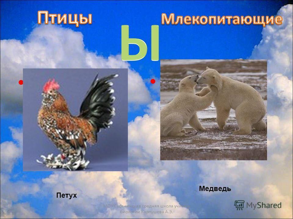 Самая драчливая птица Он питается тюленями МОУ Сусанинская средняя школа учитель биологии Карпушева А.Э. Петух Медведь