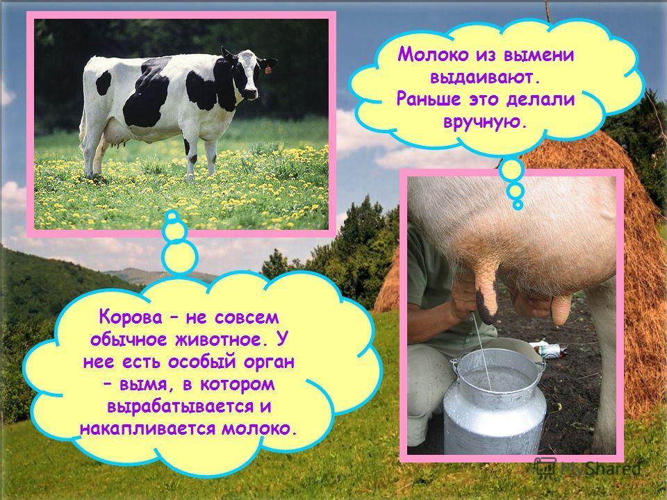 Корова – не совсем обычное животное. У нее есть особый орган – вымя, в котором вырабатывается и накапливается молоко. Молоко из вымени выдаивают. Раньше это делали вручную.