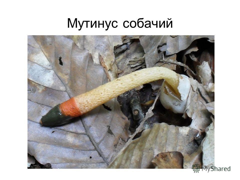 Мутинус собачий