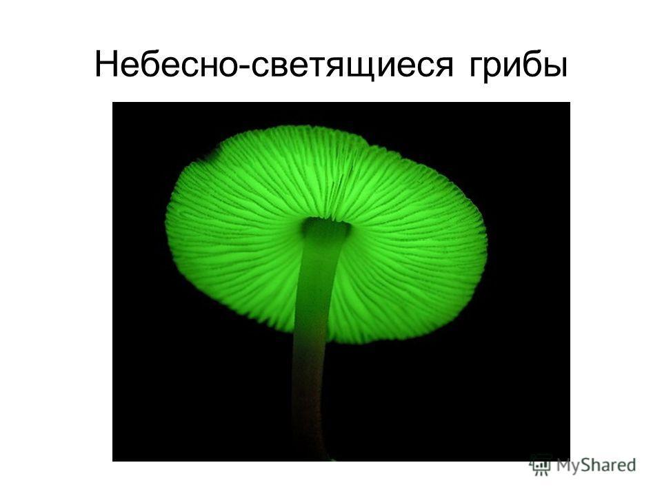 Небесно-светящиеся грибы