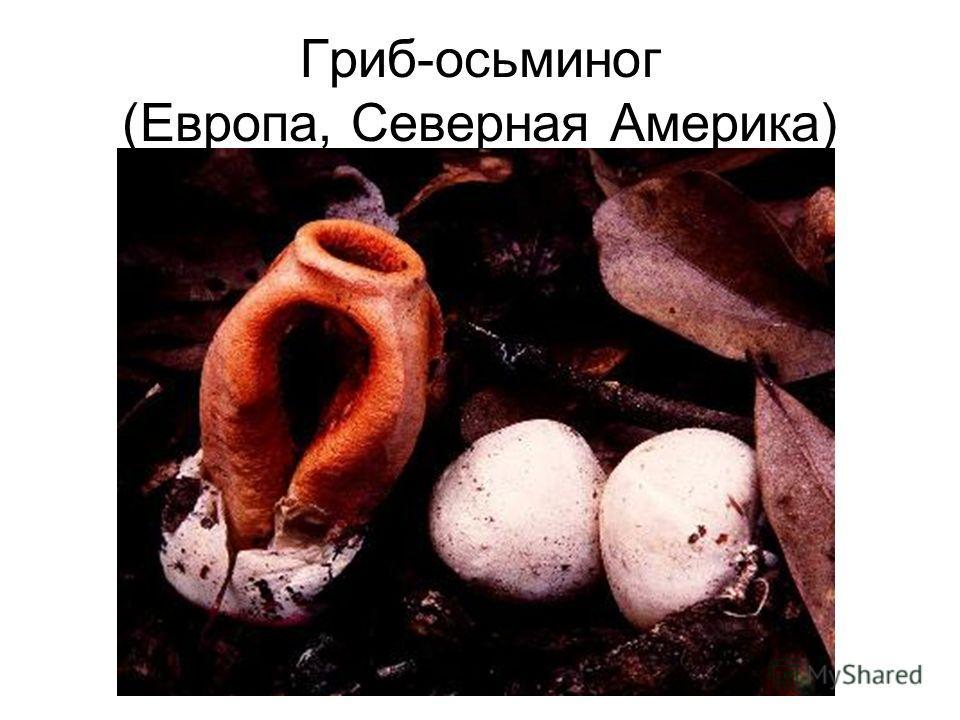 Гриб-осьминог (Европа, Северная Америка)