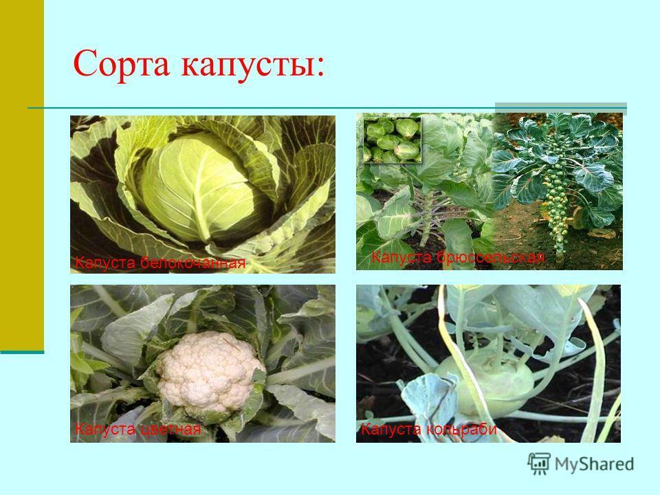 Сорта капусты: Капуста белокочанная Капуста брюссельская Капуста цветная Капуста кольраби