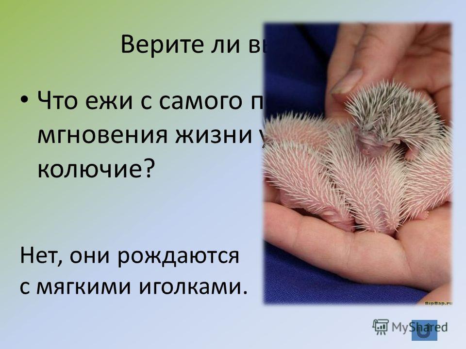 Верите ли вы? (20) Что ежи с самого первого мгновения жизни уже колючие? Нет, они рождаются с мягкими иголками.