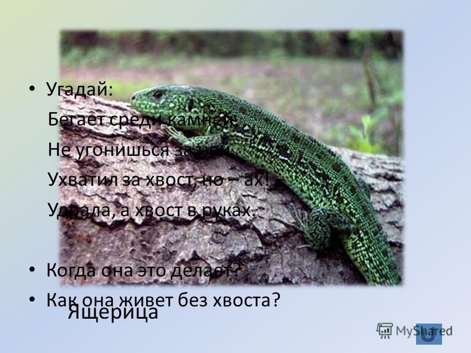 Знаете ли вы? (30) Угадай: Бегает среди камней, Не угонишься за ней. Ухватил за хвост, но – ах! – Удрала, а хвост в руках. Когда она это делает? Как она живет без хвоста? Ящерица
