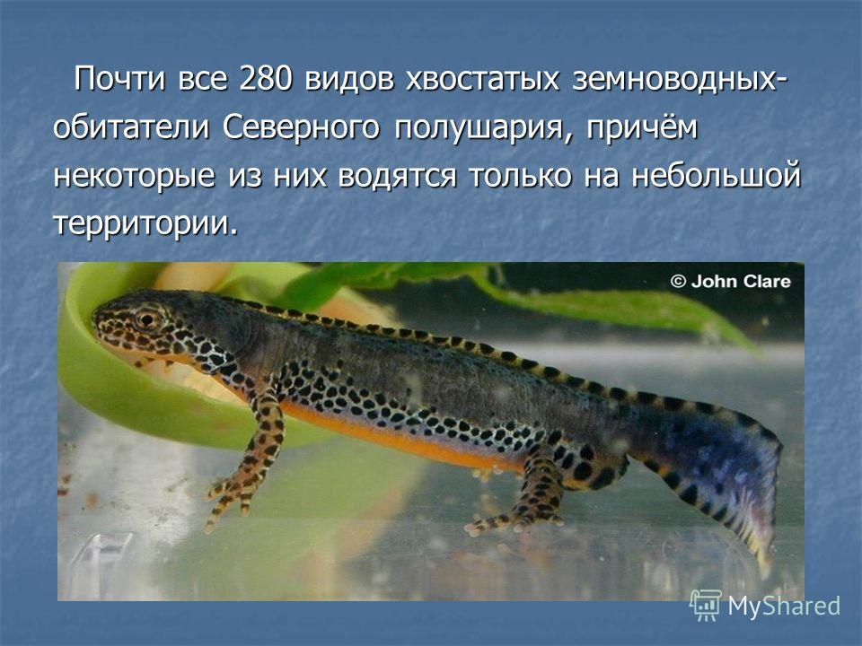 Почти все 280 видов хвостатых земноводных- Почти все 280 видов хвостатых земноводных- обитатели Северного полушария, причём некоторые из них водятся только на небольшой территории.