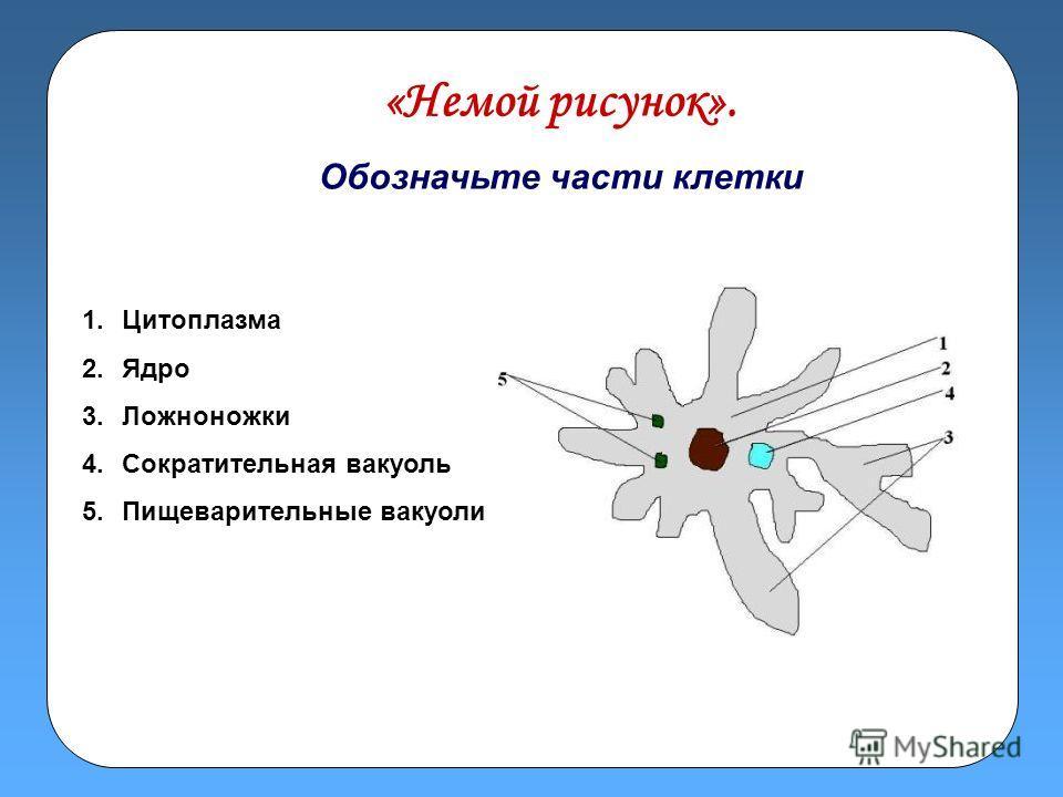 «Немой рисунок». Обозначьте части клетки 1. Цитоплазма 2. Ядро 3. Ложноножки 4. Сократительная вакуоль 5. Пищеварительные вакуоли