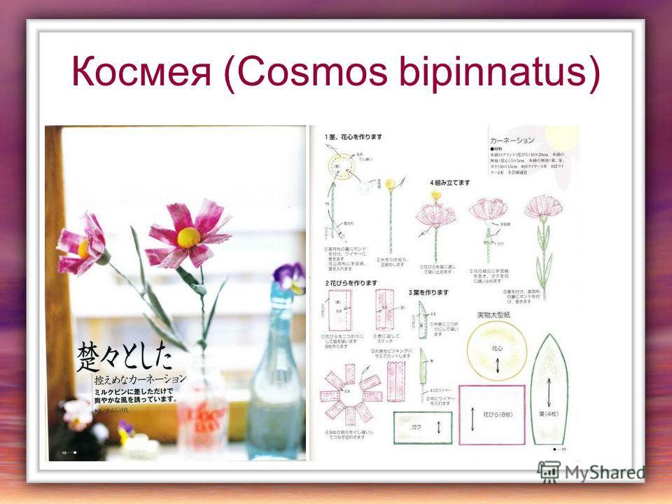 Космея (Cosmos bipinnatus)
