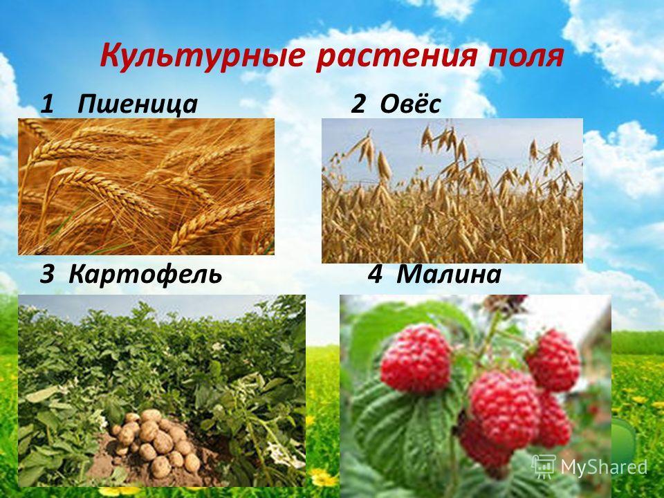 Культурные растения поля 1Пшеница 2 Овёс 3 Картофель 4 Малина