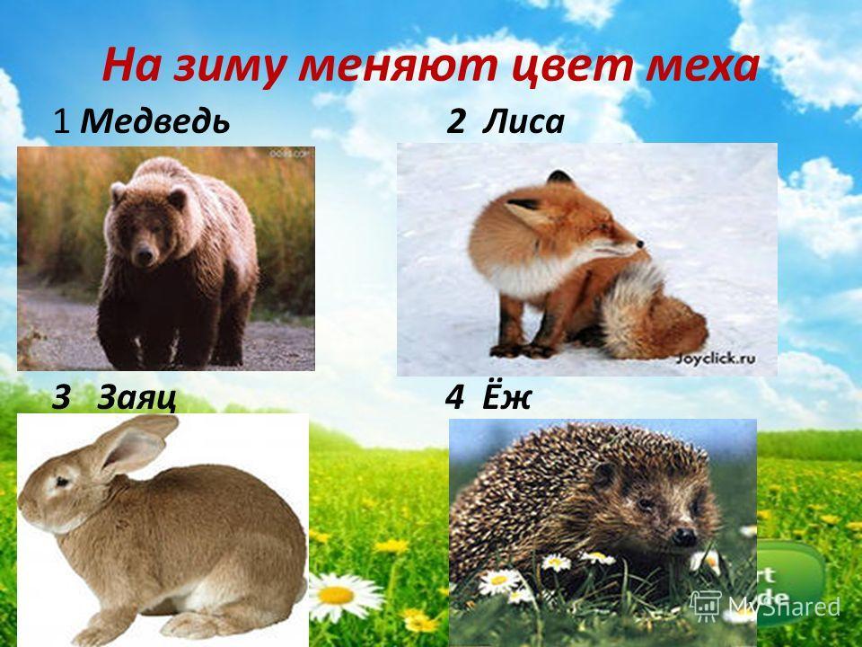 На зиму меняют цвет меха 1 Медведь 2 Лиса 3 Заяц 4 Ёж