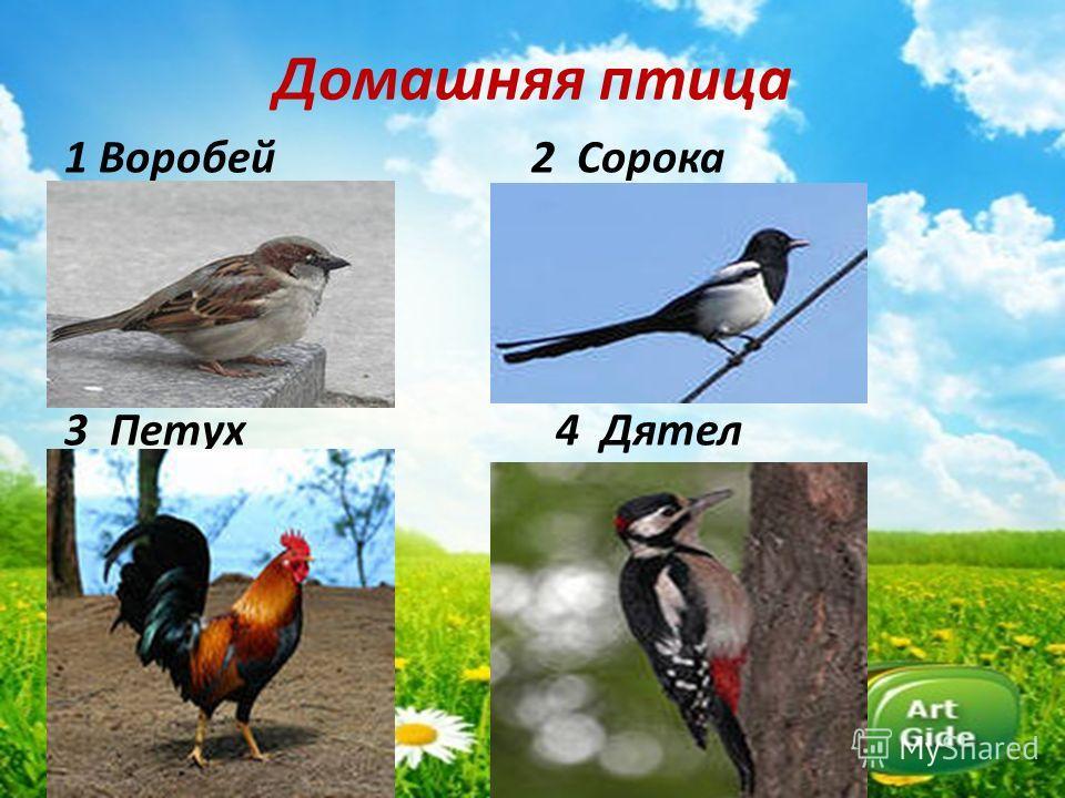 Домашняя птица 1 Воробей 2 Сорока 3 Петух 4 Дятел