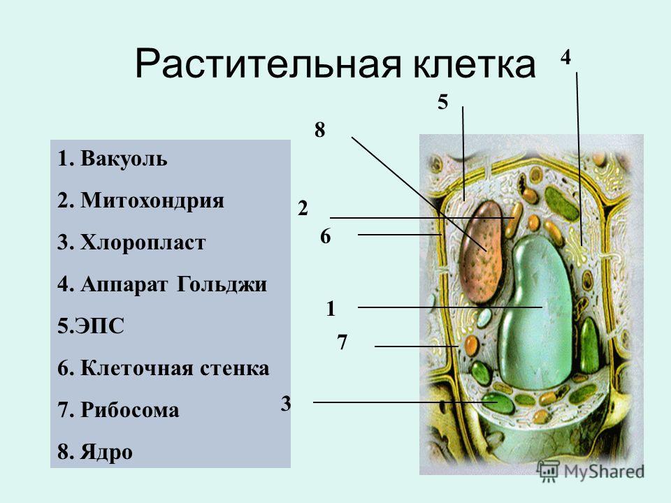 1. Митохондрия 2. Цитоплазма 3. Центриоли 4. ЭПС 5. Ядро 6. Лизосома 7. Мембрана Животная клетка 1 2 3 5 6 7 4