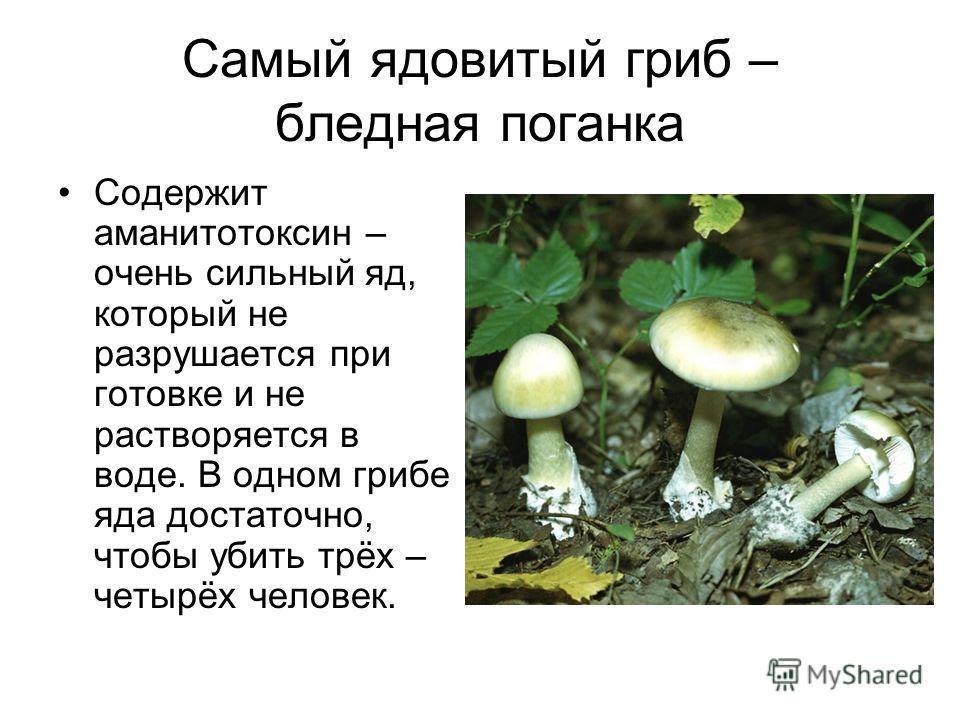 Самый ядовитый гриб – бледная поганка Содержит аманитотоксин – очень сильный яд, который не разрушается при готовке и не растворяется в воде. В одном грибе яда достаточно, чтобы убить трёх – четырёх человек.
