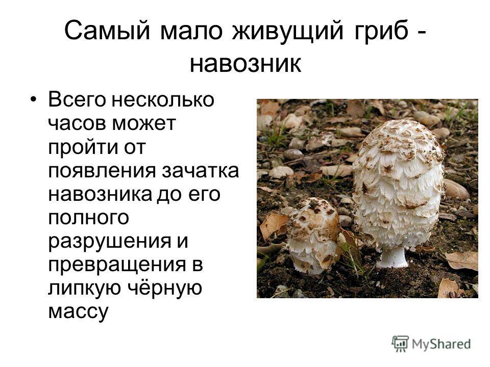 Самый мало живущий гриб - навозник Всего несколько часов может пройти от появления зачатка навозника до его полного разрушения и превращения в липкую чёрную массу