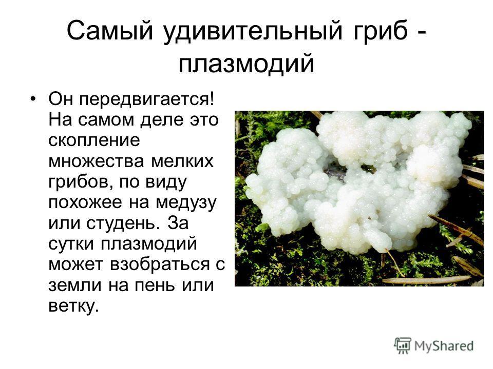 Самый удивительный гриб - плазмодий Он передвигается! На самом деле это скопление множества мелких грибов, по виду похожее на медузу или студень. За сутки плазмодий может взобраться с земли на пень или ветку.