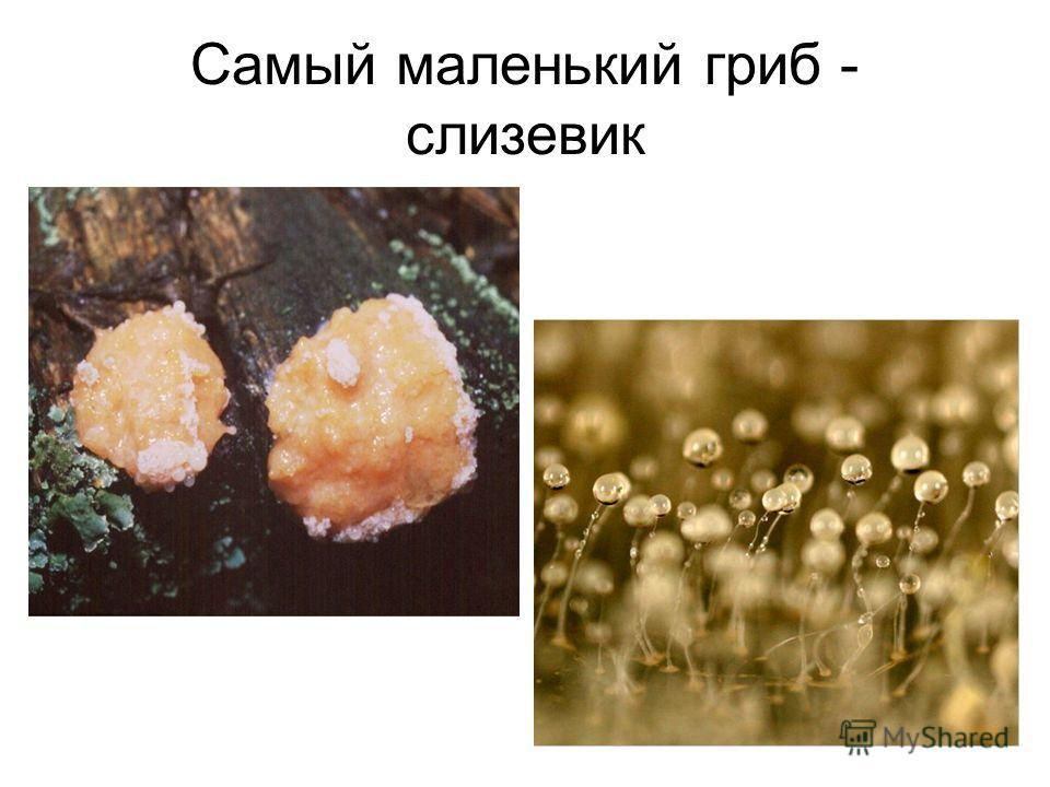 Самый маленький гриб - слизевик