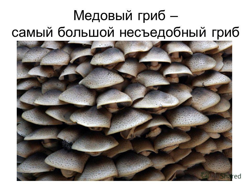 Медовый гриб – самый большой несъедобный гриб