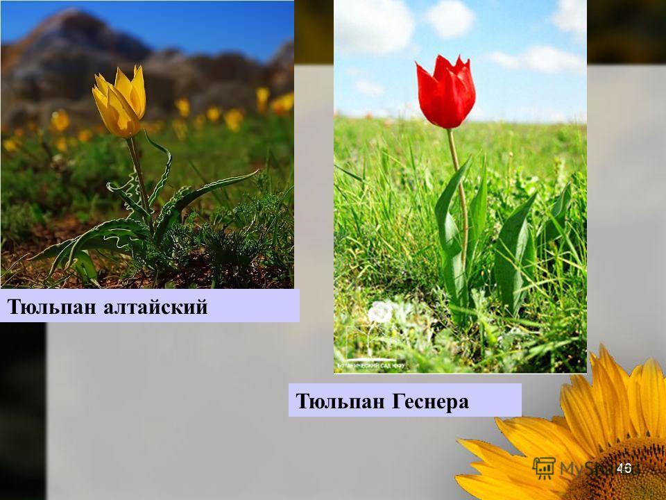 46 Тюльпан алтайский Тюльпан Геснера