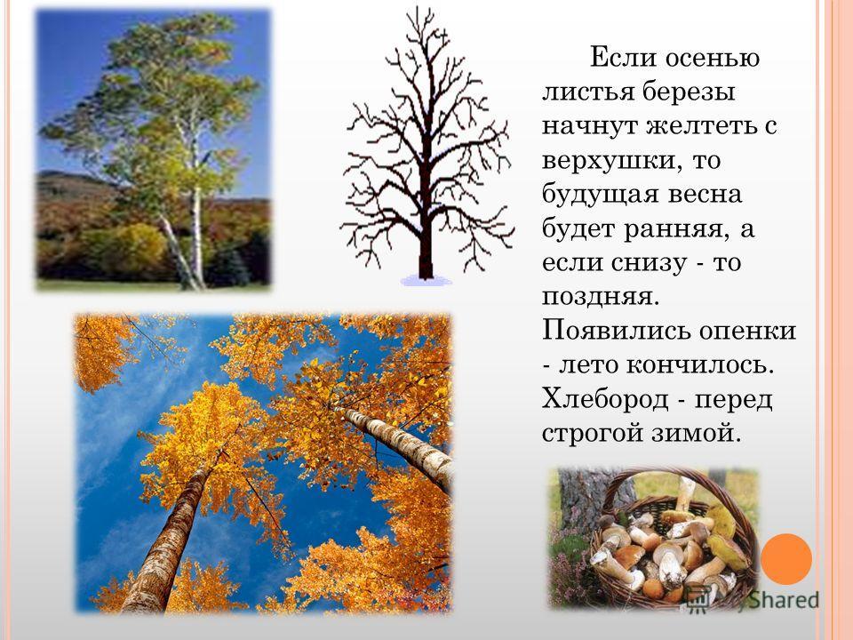 Если осенью листья березы начнут желтеть с верхушки, то будущая весна будет ранняя, а если снизу - то поздняя. Появились опенки - лето кончилось. Хлебород - перед строгой зимой.