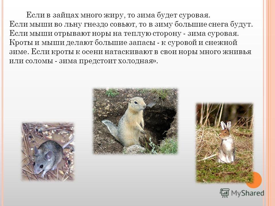Если в зайцах много жиру, то зима будет суровая. Если мыши во льну гнездо совьют, то в зиму большие снега будут. Если мыши отрывают норы на теплую сторону - зима суровая. Кроты и мыши делают большие запасы - к суровой и снежной зиме. Если кроты к осе