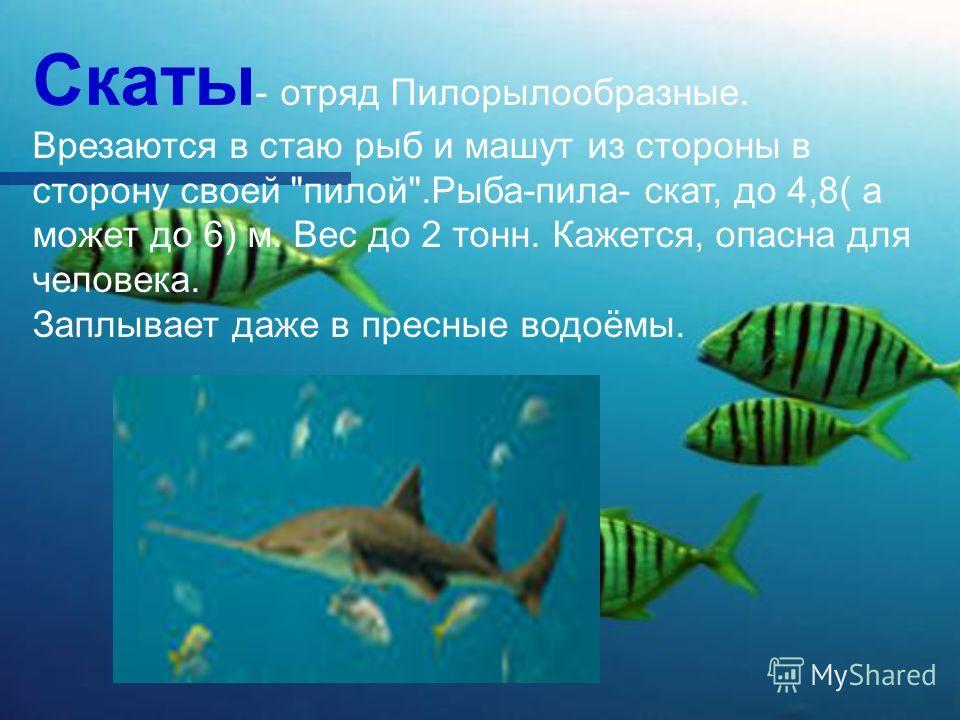 Скаты - отряд Пилорылообразные. Врезаются в стаю рыб и машут из стороны в сторону своей пилой.Рыба-пила- скат, до 4,8( а может до 6) м. Вес до 2 тонн. Кажется, опасна для человека. Заплывает даже в пресные водоёмы.