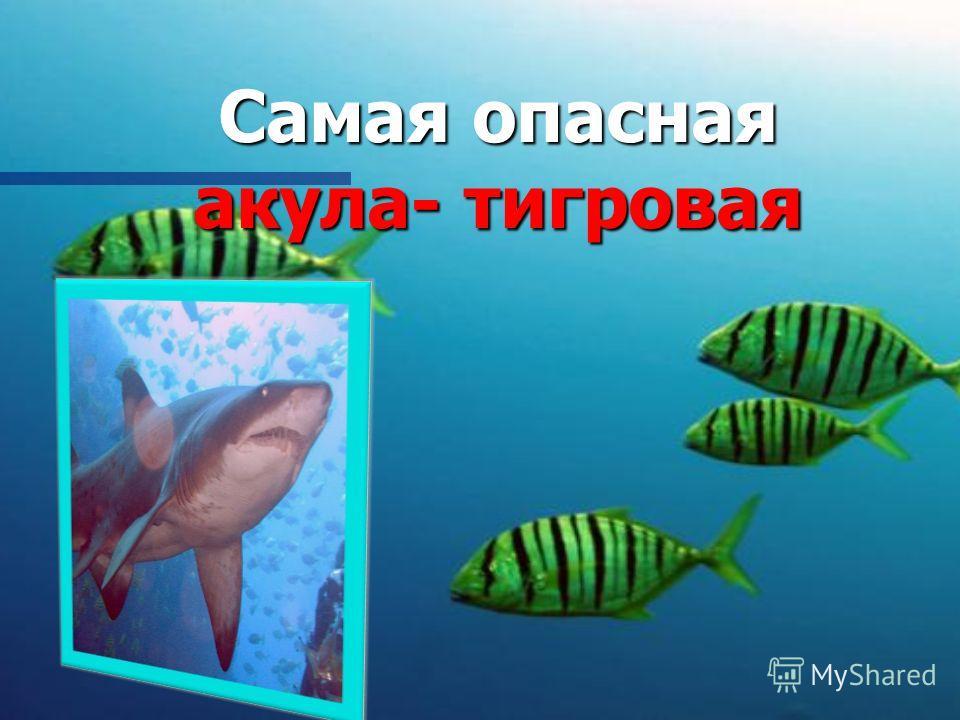 Самая опасная акула- тигровая