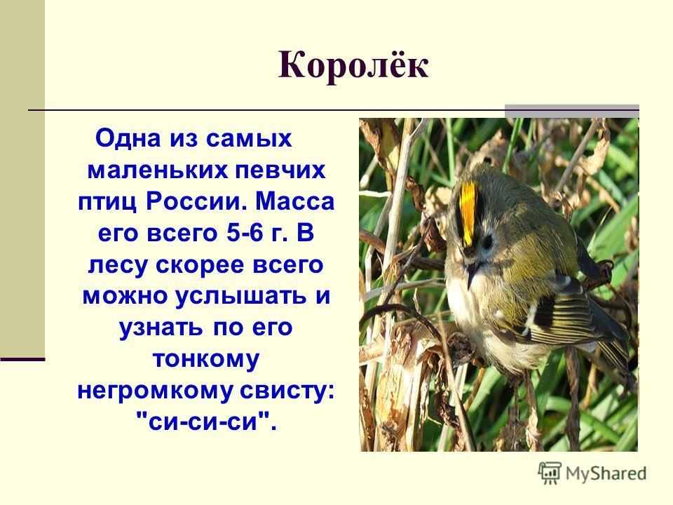 Королёк Одна из самых маленьких певчих птиц России. Масса его всего 5-6 г. В лесу скорее всего можно услышать и узнать по его тонкому негромкому свисту: си-си-си.
