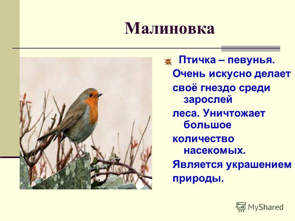 Малиновка Птичка – певунья. Очень искусно делает своё гнездо среди зарослей леса. Уничтожает большое количество насекомых. Является украшением природы.
