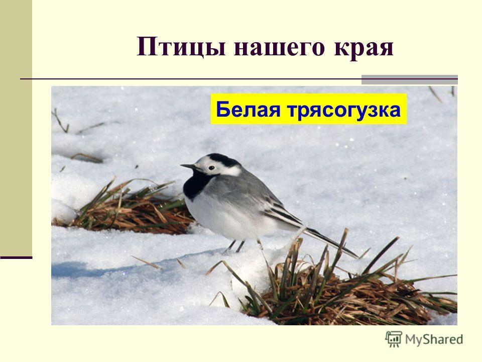 Птицы нашего края Белая трясогузка